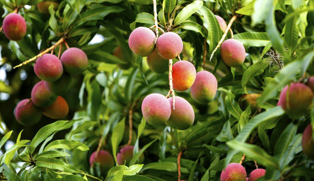 Arbol-de-mango
